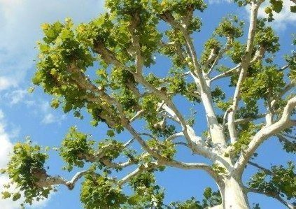 Image of an American Sycamore